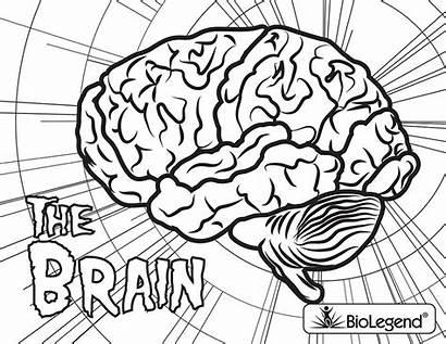 Coloring Biolegend Colouring Brain Books Biology Legendary