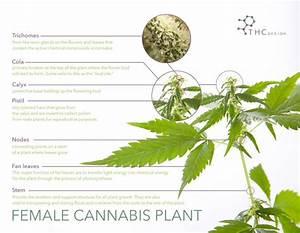 Breaking Down The Cannabis Plant