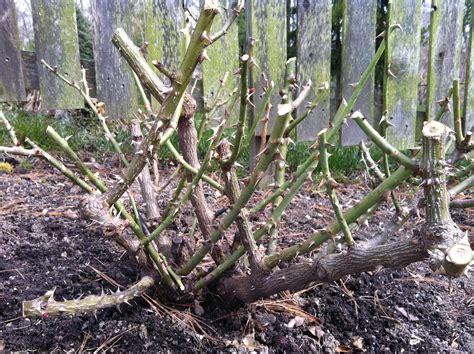 Do You Winter Gardening Blues by Drift Care Gardening Drift Roses Pruning Roses