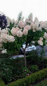 Hydrangea Paniculata Schneiden : best 25 hydrangea paniculata pinky winky ideas on ~ Lizthompson.info Haus und Dekorationen
