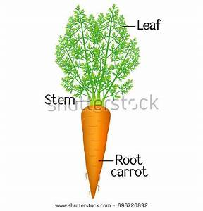 Carrot Anatomy Related Keywords - Carrot Anatomy Long Tail ...