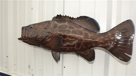 grouper fish mount