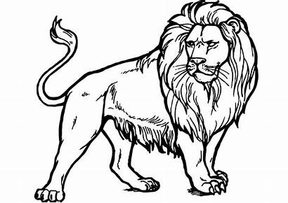 Lion Coloring Realistic Majestic Looking Pdf Craft