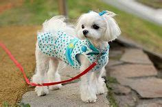 where to take baby for haircut maltese forum and maltese dogs on 5449