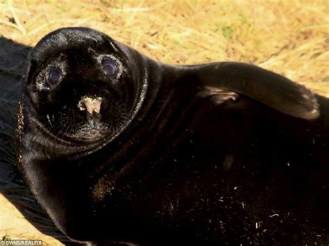 Wildlife Bosses Scratching Their Heads After Ultra-Rare Jet Black Seal Was Born To Grey-Coloured ...