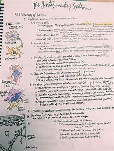 Integumentary System Notes And Epidermis Cells