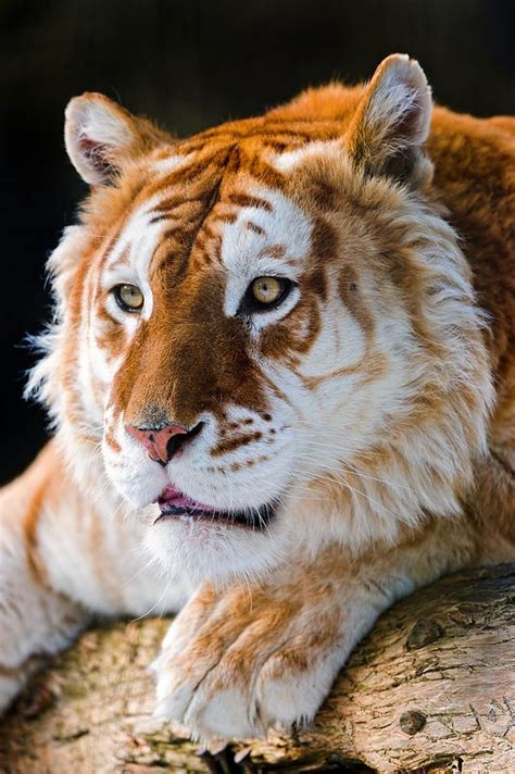 Attentive Golden Tiger Amazing God Creations