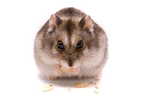 types of hamsters breeds about hamsters hamsters guide omlet uk