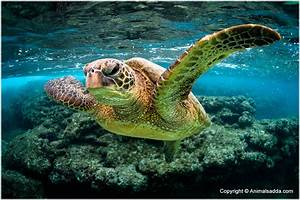 Green sea turtle facts habitat