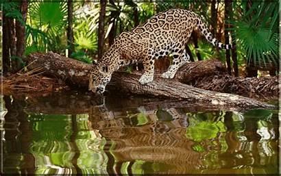 Jaguar Animals Animal Rainforest Jungle Wild Animated
