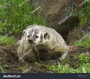 Angry American Badger Next Burrow Green Stock Photo ...