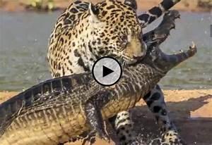 The gallery for --> Jaguar Attack Crocodile