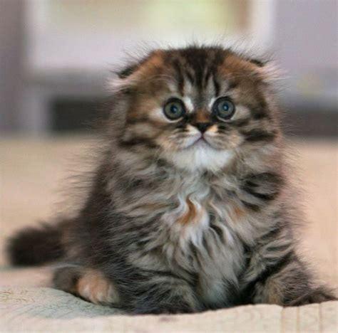Rare Scottish Fold Munchkins  Scottish Fold Kittens Price
