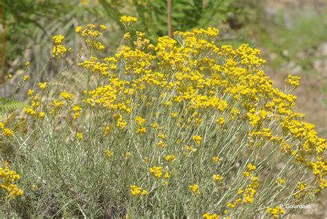 immortelle d italie cuisine helichrysum italicum immortelle d 39 italie éternelle jaune