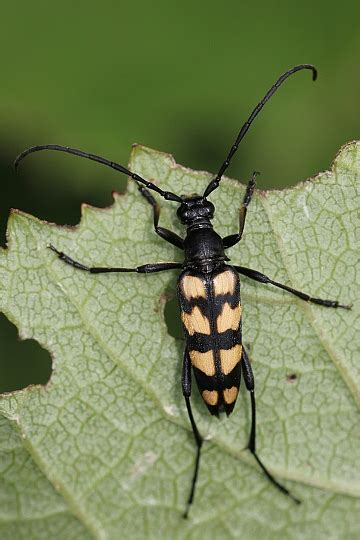 großer schwarzer käfer im haus schwarzer k 228 fer mit gelben punkten