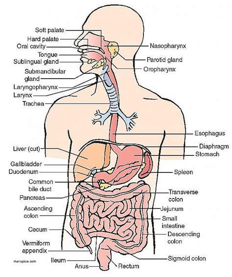 Organ Diagram by Respiratory System Diagram
