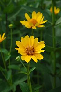 False Sunflower  Heliopsis Helianthoides  In Naperville