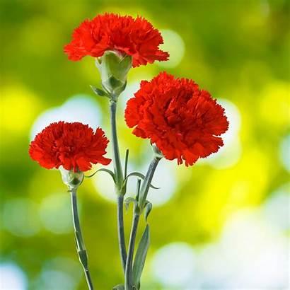 Carnation Scarlet Flower Garden Seeds Carnations Cancan