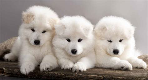 Samoyed The White Wolf Of The Pet Dog World