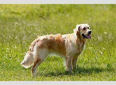 Hunderassen mit Bild Übersicht von A bis Z