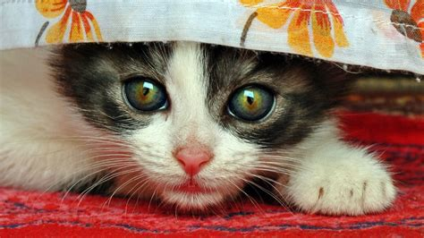 cat why cute cats eyes puzzles kittens jigsaw calico pokemon reasons tortoiseshell kitty giving logical between cutest ferocious step adorable
