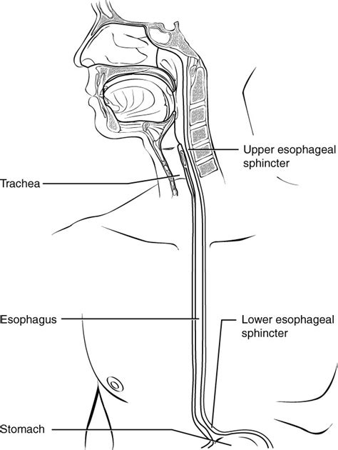 Diagram Of The Lower Esophageal Sphincter by The Pharynx And Esophagus Anatomy And Physiology Ii