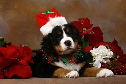 Christmas Dog Puppy Wallpapers Puppies Animal Dogs