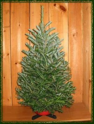 living xmas trees for sale buy a tree live fraser fir for sale