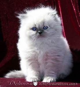 Lilac Point Himalayan Persian. That's Tinkerbell, about 9 ...