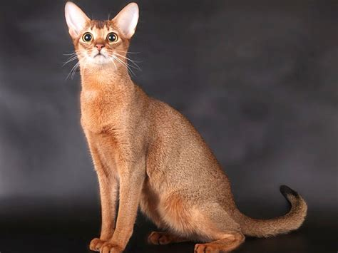 gatti persiani pelo corto abissino razze gatti