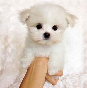 teacup maltipoo puppy for sale cece