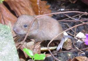 Bug Mad Girl: Baby Vole