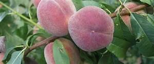 Mittel Gegen Kräuselkrankheit : fruteria h berli fruchtpflanzen ag neukirch egnach ~ Lizthompson.info Haus und Dekorationen