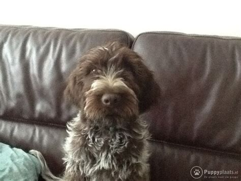 wirehaired pointing griffon non shedding wire haired pointing griffon breeds picture