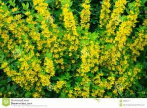 Yellow Flowered Shrubs