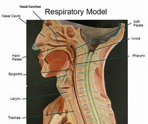 External Nares, Nasal Cavity, Nasal Septum, Nasal Conchae ...