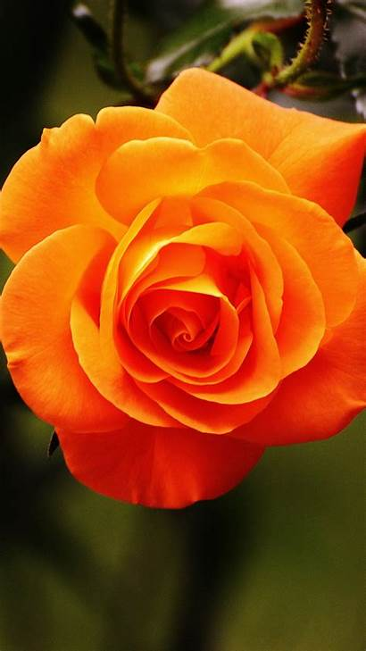 Rose Orange Sm Rosas Flores Hermosas Wallpapers