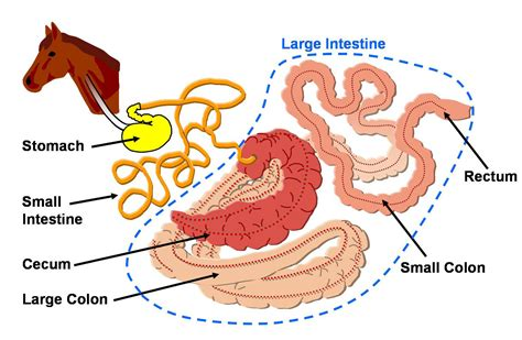 Groin Diagram Cow by The Digestive Apparatus Of Animals Anatomically Digestive