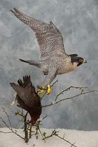 Peregrine Falcon Catching Grouse - UK Bird Small Mammal ...  Falcon