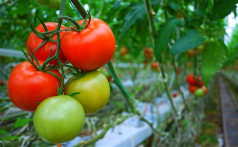cultivation of tomatoes the amazing new way to grow tomatoes in tomato waste modern farmer