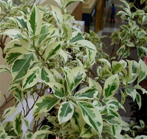 tanaman beringin putih bibitbungacom