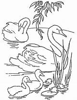 Coloring Swans Printable Pages Adult Thegraphicsfairy Fairy Graphics Drawings sketch template