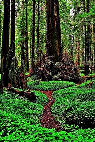 Northern California Redwood Parks