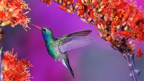 Колибри и красные цветы