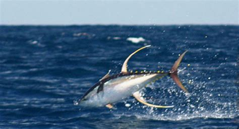 Yellow Boat Rental San Diego by Range Boats Score On Larger Yellowfin Tuna San