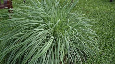 buy citronella grass arizona home and garden living culture travel and health