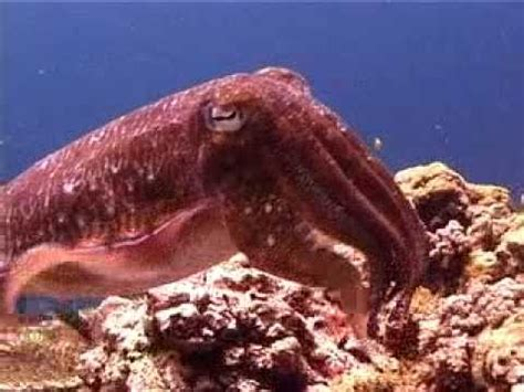 cuttlefish changing color cuttlefish changing colors