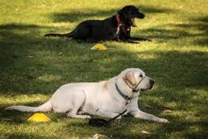 Guide Dog Training in Puppies