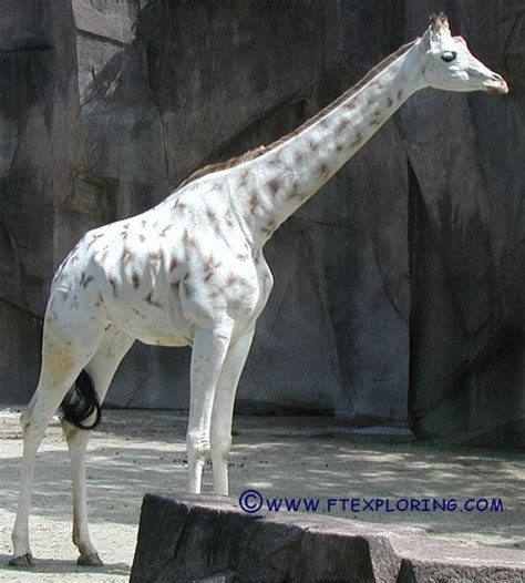 rare white giraffes spotted   areas animales