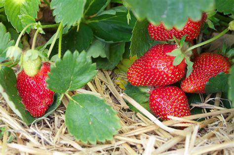 planting strawberries growing strawberries bonnie plants